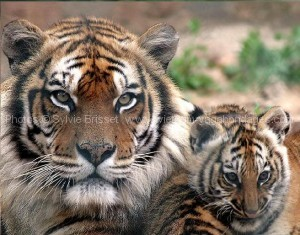 Tigres03