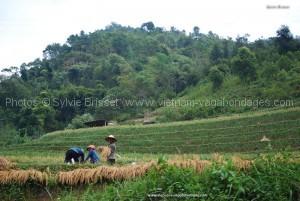 ramassag riz de Hoan Su Phi