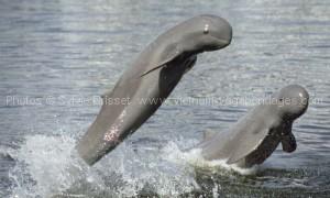 dauphins d'eau douce du Laos