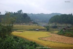 riz jaune  de Hoan Su Phi