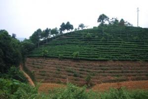 plantation de thé au vietnam